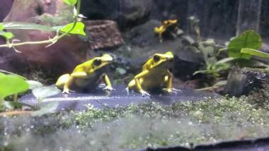 ジュウジメドクアマガエル