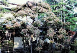 庭木が元気に(炭素埋設前)