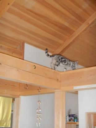 自然住宅の家 無垢材 猫梁の上歩く