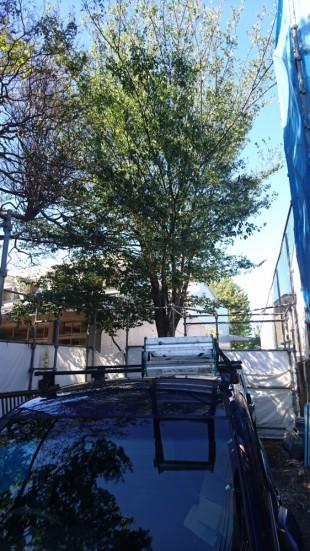 三鷹市現場 シンボルツリー