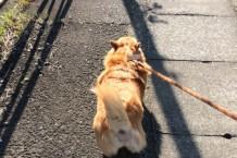 コーギー 散歩